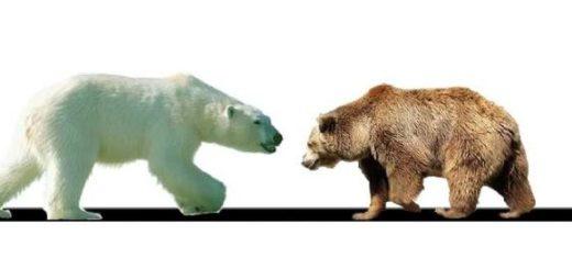 Белый медведь и бурый медведь